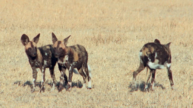 vídeos de stock e filmes b-roll de a pack of hyenas play on the african savanna. - grupo de animais