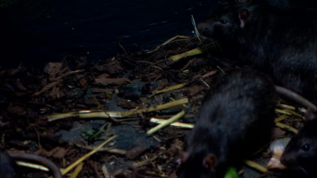 a pack of rats forages in a gutter. - pest stock videos & royalty-free footage