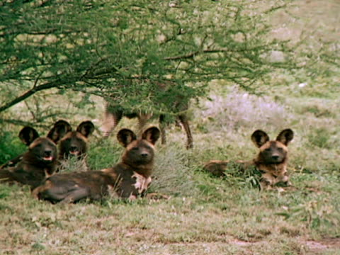 vídeos y material grabado en eventos de stock de pack of spotted coat wild dogs resting in grass beneath tree. wild dog reclined w/ rounded ears up, flies on face. - recostarse