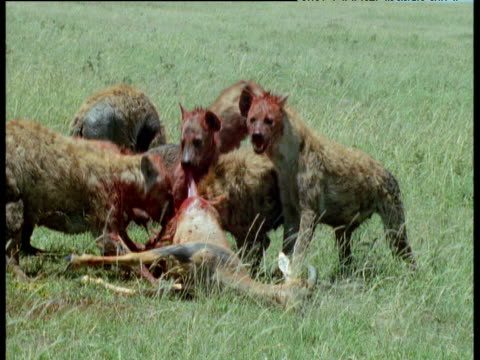 pack of spotted hyaenas tear greedily at topi antelope carcass on savanna, masai mara - apparato digerente animale video stock e b–roll