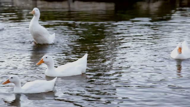 vídeos de stock e filmes b-roll de pack de patos no lago branco - grupo médio de animais
