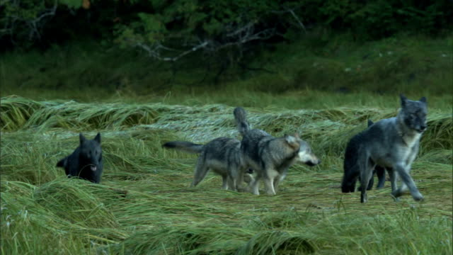 A pack of wolves cavorts and runs across a grassy field.