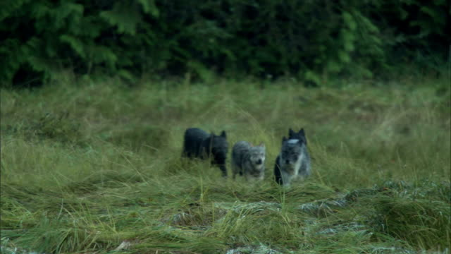 A pack of wolves trots across a grassy field.
