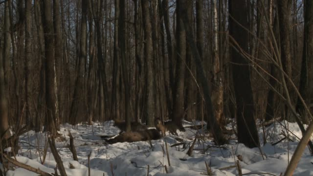 vídeos de stock, filmes e b-roll de matilha de lobos vs bisons (conflito) - animais caçando