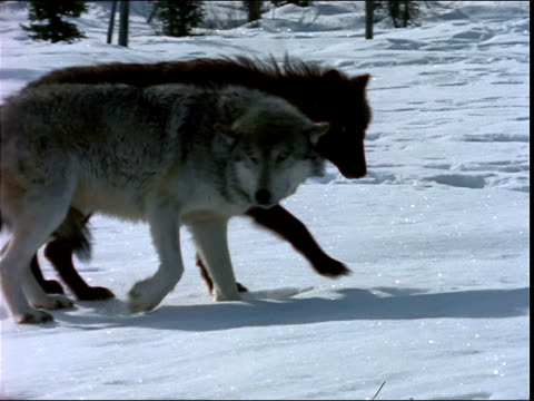 a pack of wolves walks around in the snow. - gruppo di animali video stock e b–roll