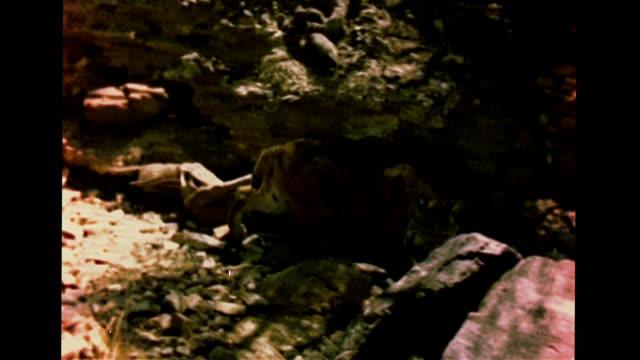 pack rat moving through burrow, sunrise: vs bobcat walking & sitting near rocky wall, shadows, mule deer drinking water from stream, trees.... - sonoran desert stock videos & royalty-free footage
