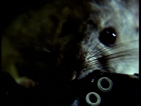 vídeos de stock, filmes e b-roll de cu pack rat, neotoma lepida, bites on childs shoe, usa - bigode de animal