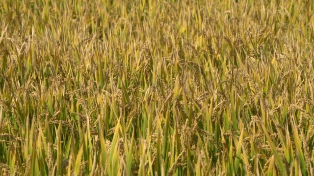 paddy crops in farmland - モミ点の映像素材/bロール