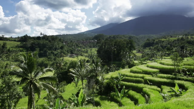 ws paddy field terraces growing rice - bali stock videos & royalty-free footage