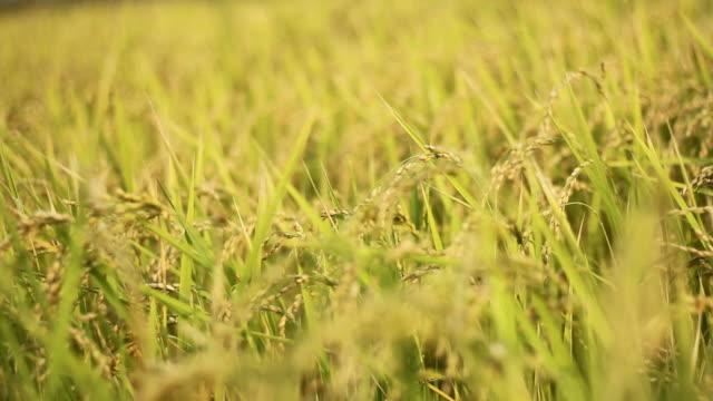 タイ北部の水田田 - モミ点の映像素材/bロール