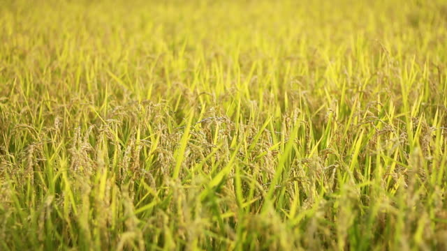 paddy rice field in northern thailand - rice plant stock videos and b-roll footage