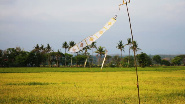 paddy rice field in northern thailand - paddy field stock videos & royalty-free footage