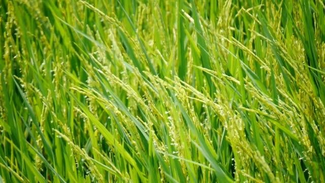 vidéos et rushes de champ de riz paddy - chapeau de paille