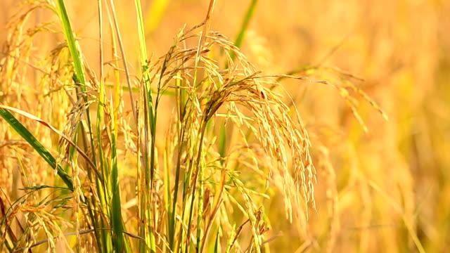 vídeos de stock e filmes b-roll de arroz paddy) - agrafo