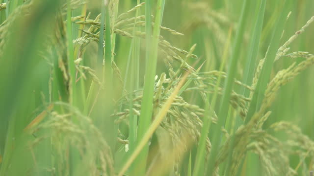 Paddy rice gains in wind