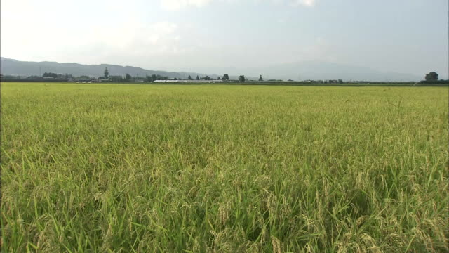 Paddy Rice Grain In Wind