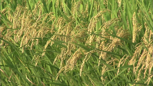 paddy rice grain in wind - yamagata prefecture stock videos & royalty-free footage