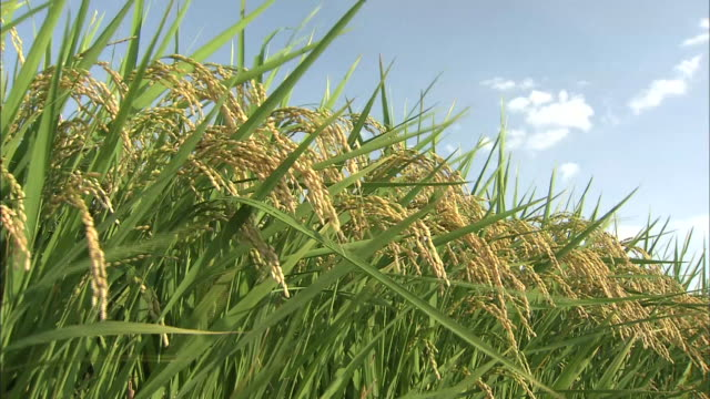 paddy rice grain in wind - rice plant stock videos and b-roll footage