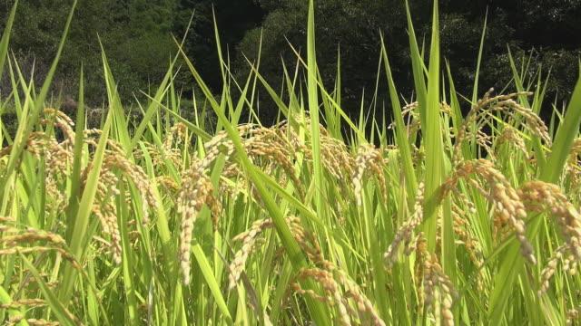 paddy rice grains in wind - モミ点の映像素材/bロール