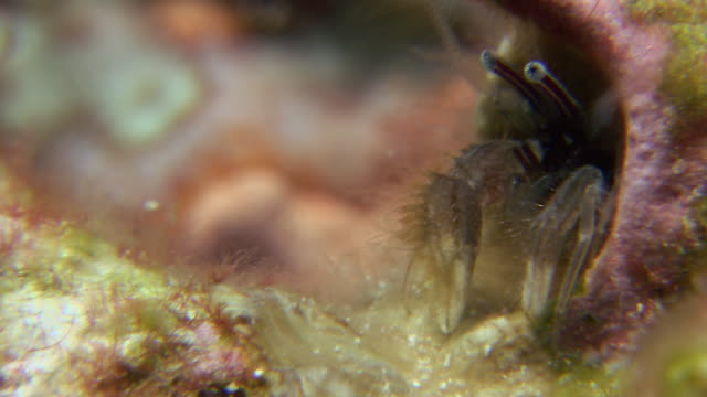 paguritta hermit crab (pagurita sp.). this hermit crab lives in a vacant worm tube in corals in the tropical indo-pacific region. it has long and feather-like antennae which it uses to catch plankton. filmed in the andaman sea, thailand - sea worm stock videos & royalty-free footage