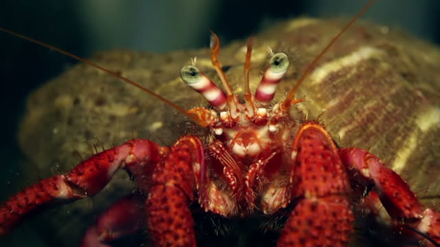 pagurus bernhardus crab in the abyss - hermit crab stock videos & royalty-free footage