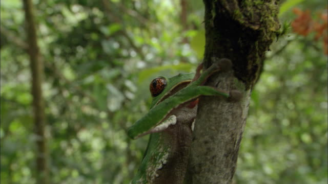 cu tu painted belly monkey frog climbing on tree / orellana, ecuador - south america stock videos & royalty-free footage