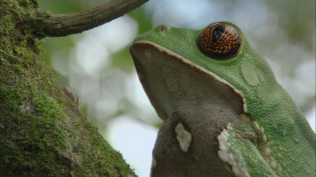 cu ts painted belly monkey frog climbing on tree / orellana, ecuador - ecuador stock videos & royalty-free footage