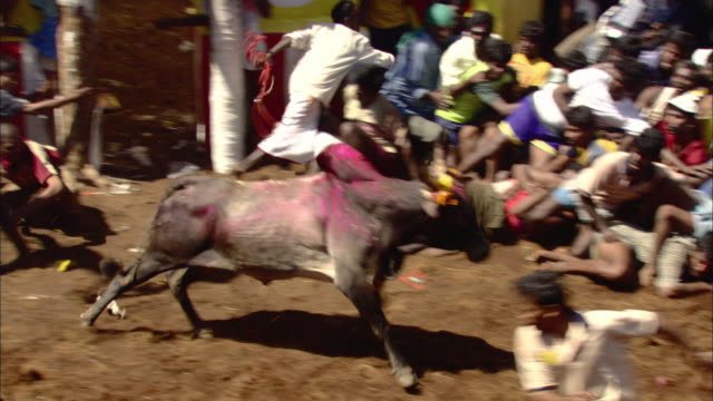 ha ws pan painted bull charging into crowd and lifting man into air with horns before running off/ india - 雄牛点の映像素材/bロール