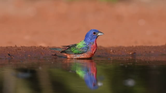Painted Bunting Taking a Bath