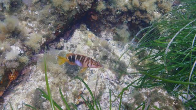 vidéos et rushes de painted comber fish - vincent pommeyrol