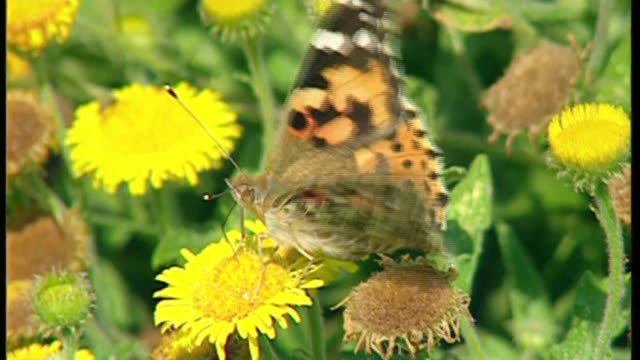 painted lady butterflies could make once in a decade migration to the uk bsp200896011 / 2081996 kew gardens various of painted lady butterflies on... - formal garden stock videos & royalty-free footage