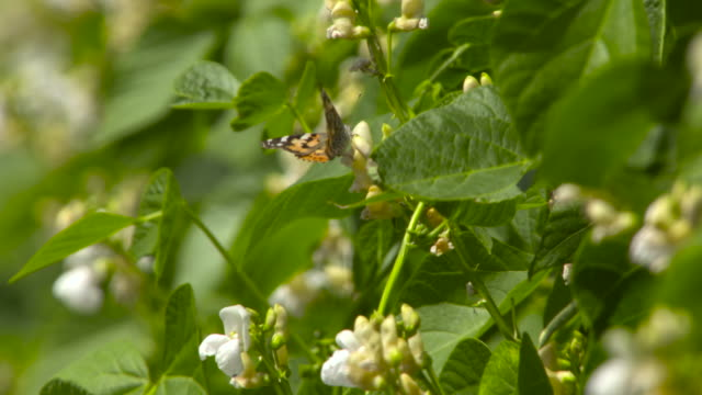 painted lady butterfly on flowering runner beans, uk - insect stock videos & royalty-free footage