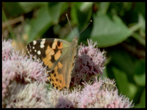 "vidéos et rushes de painted lady butterfly on flowers, devon - ""bbc natural history"""