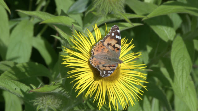 painted lady butterfly - johnfscott stock videos & royalty-free footage