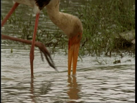 cu painted stork foraging in water, gujarat, india - foraging stock videos & royalty-free footage