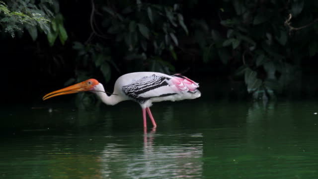 Painted stork in a wetland