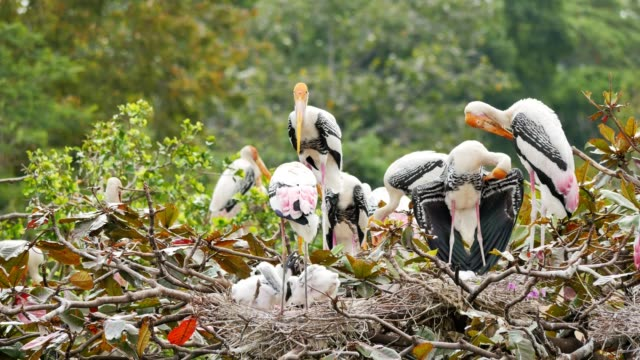 Painted Storks with flapper in a nest on tree.