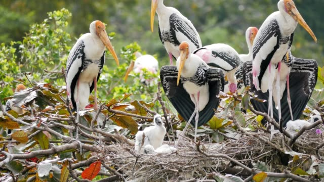 Painted Storks with flapper in a nest on tree