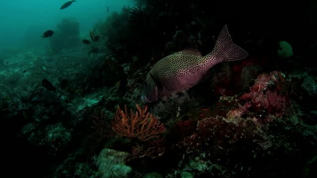 vídeos y material grabado en eventos de stock de pintado sweetlip, limpieza, coral arrecife, indonesia (hd - cnidario