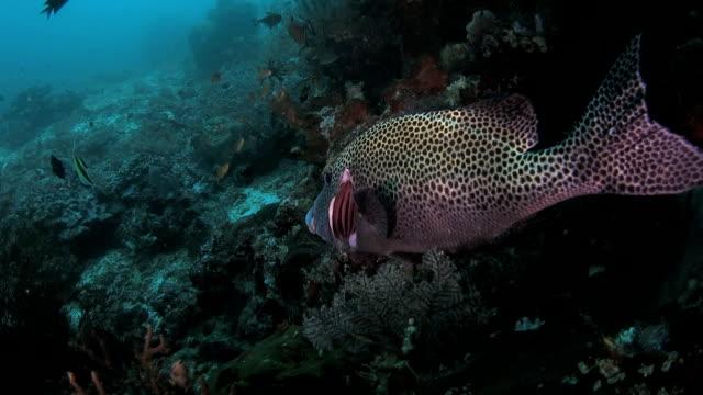 Pintou sweetlip foi efectuada por Labro peixe