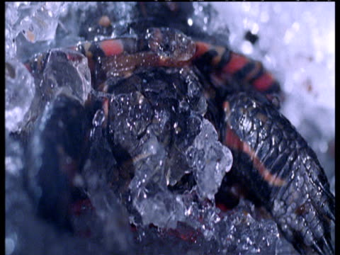 Painted turtle thaws out in spring as ice melts