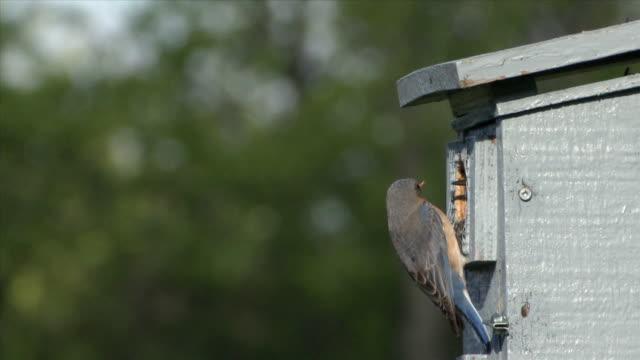 ms pair eastern bluebirds at nest box / tweed, ontario, canada - birdhouse stock videos & royalty-free footage