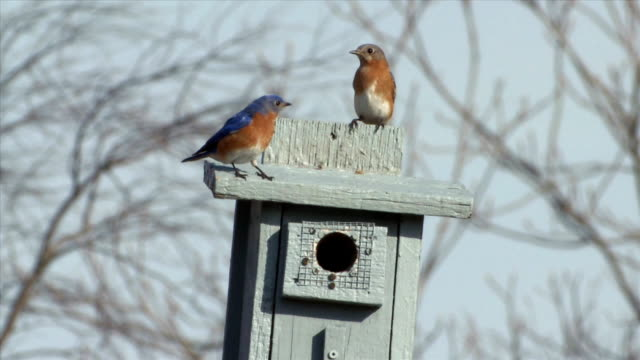 WS Pair eastern bluebirds flying to nest box / Tweed, Ontario, Canada