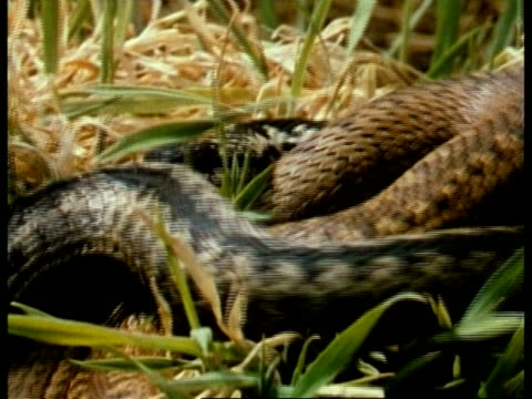 ms pair of adders, vipera berus, in adder dance, competition, male snakes intertwine raised heads, grass background, uk - viper stock videos & royalty-free footage