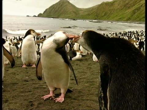 ms pair of adult royal penguins, eudyptes schlegeli, fighting, rest of colony standing around, antarctica - animal's crest stock videos and b-roll footage