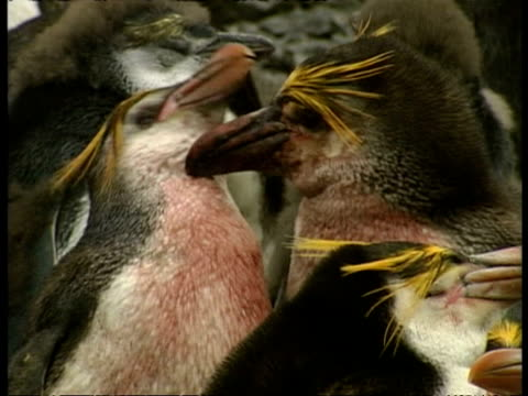 ms pair of adult royal penguins, eudyptes schlegeli, with blood on chests, antarctica - animal's crest stock videos and b-roll footage
