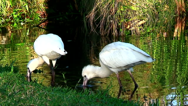 Pair of African Spoonbills