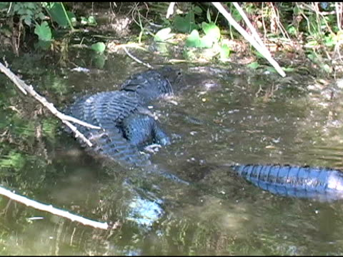 pair of alligators mating - animal family stock videos and b-roll footage