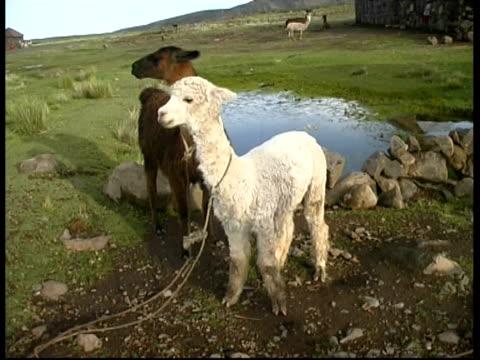 pair of alpacas tied up in countryside, ms, peru - lama oggetto creato dall'uomo video stock e b–roll