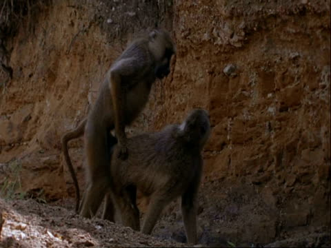 vídeos de stock, filmes e b-roll de ms pair of baboons mating, tanzania - macaco